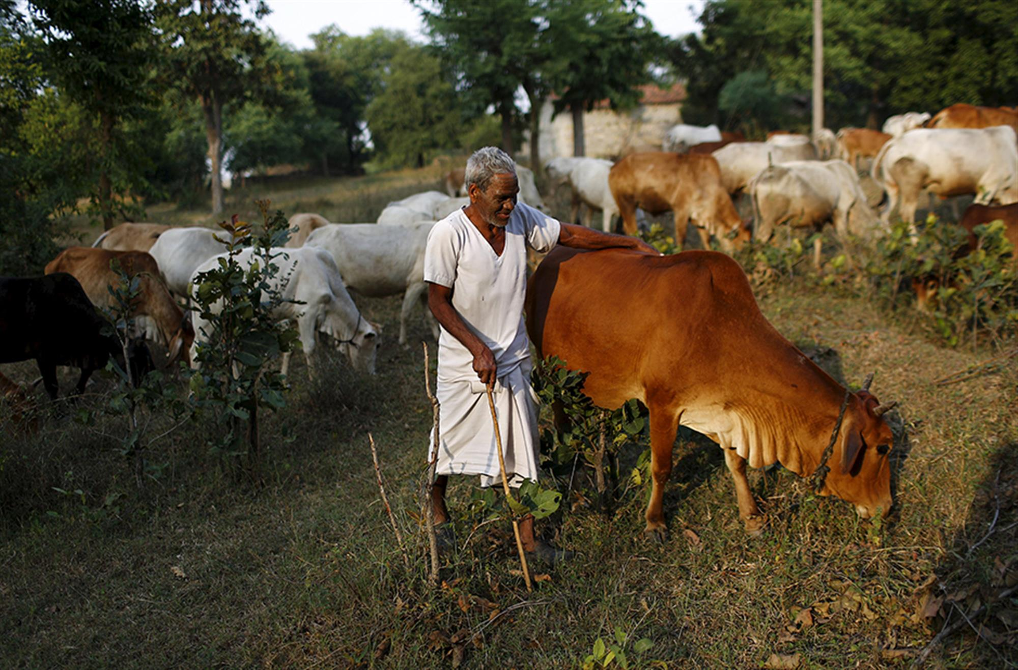 Whatever the BJP May Say, the Cost of 'Protecting' Cows Is High