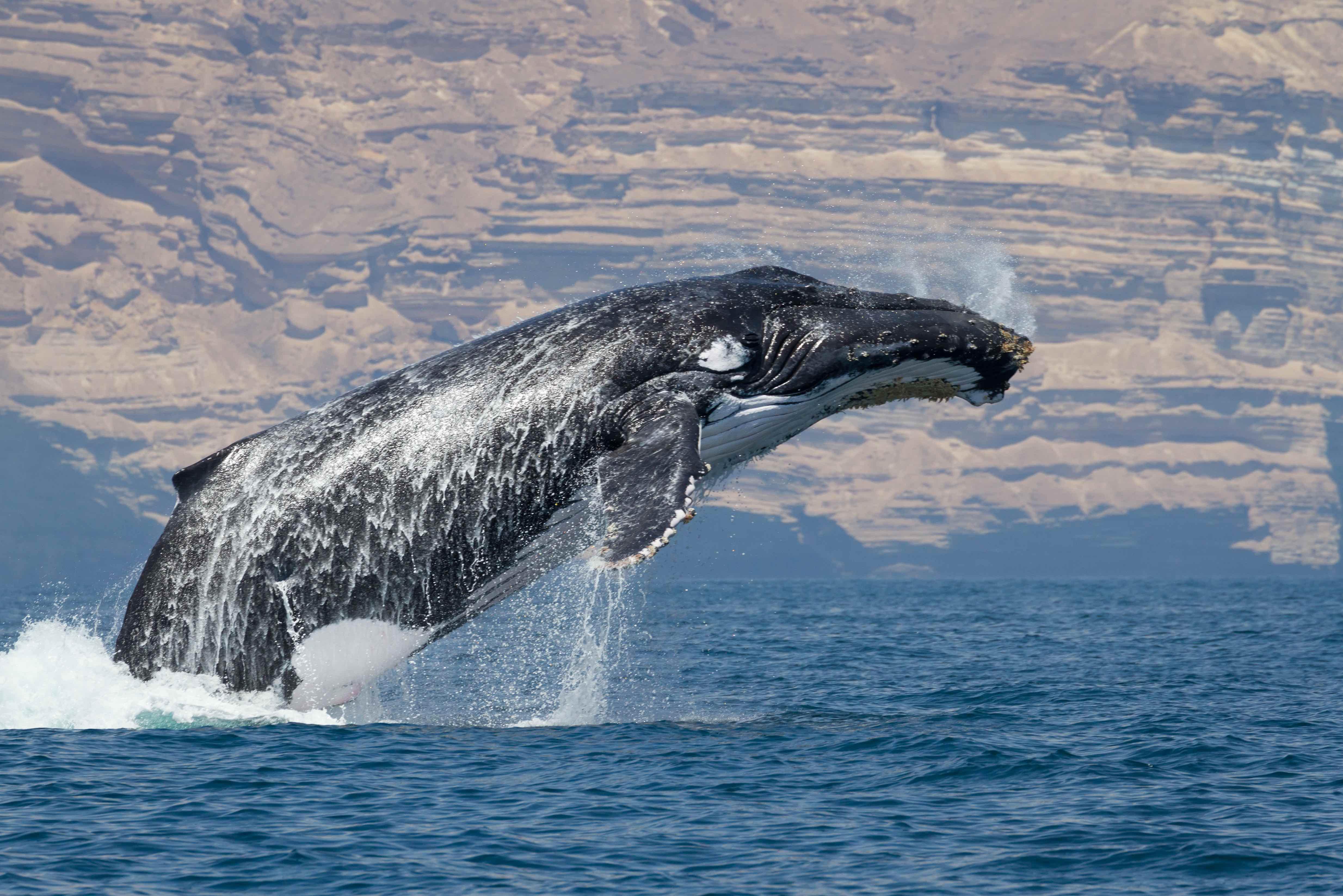 A humpback whale in the Arabian Sea. Credit: Darryl MacDonald