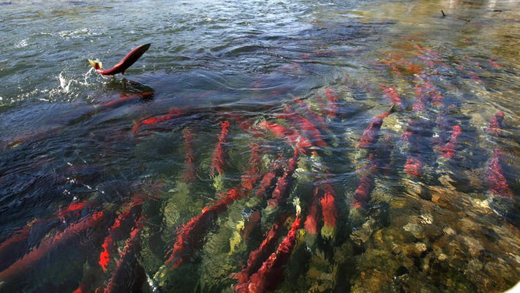 Many animals migrate, including birds, whales, and fish. Sockeye salmon in Canada migrate huge distances upriver to breed. Credit: Reuters/Andy Clark