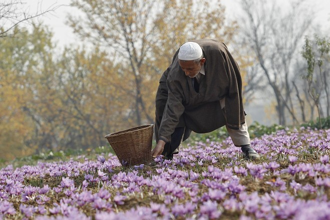 In 2010, Center approved Rs 371 crore for the National Saffron Mission aimed at revival and rejuvenation of saffron in the Valley. Credit: Reuters