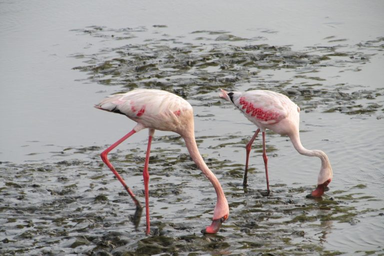 Mumbai Gets a Flamingo Sanctuary as Trade-Off for Trans-Harbour Sea-Link