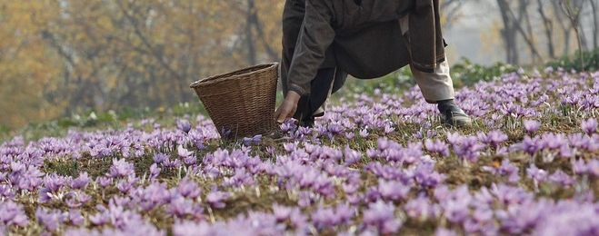 Is It Too Late to Save Kashmir's Purple Fields?