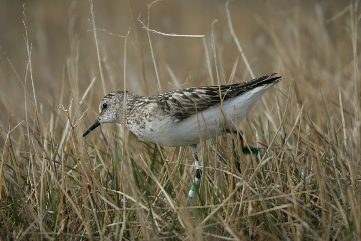 Semipalmated sandpipers breeding in Alaska have completely different mating systems and corresponding sleep cycles. Credit: Bart Kempenaers, Max Planck Institute of Ornithology