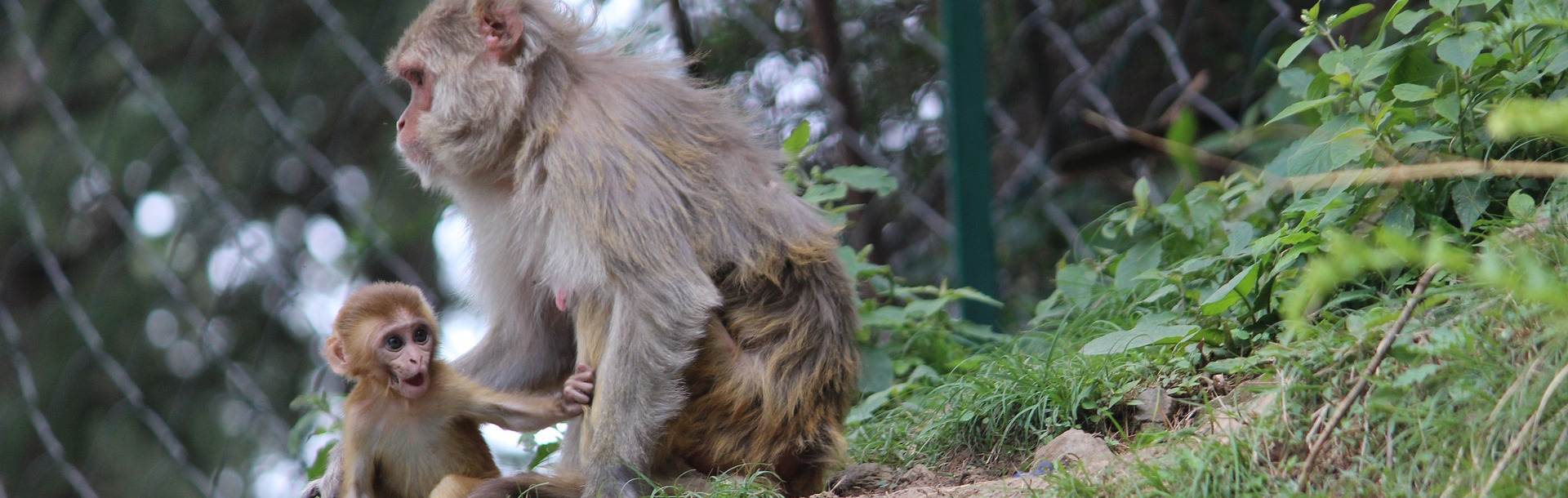 Social Isolation Is Not All Doom and Gloom for Some Macaques