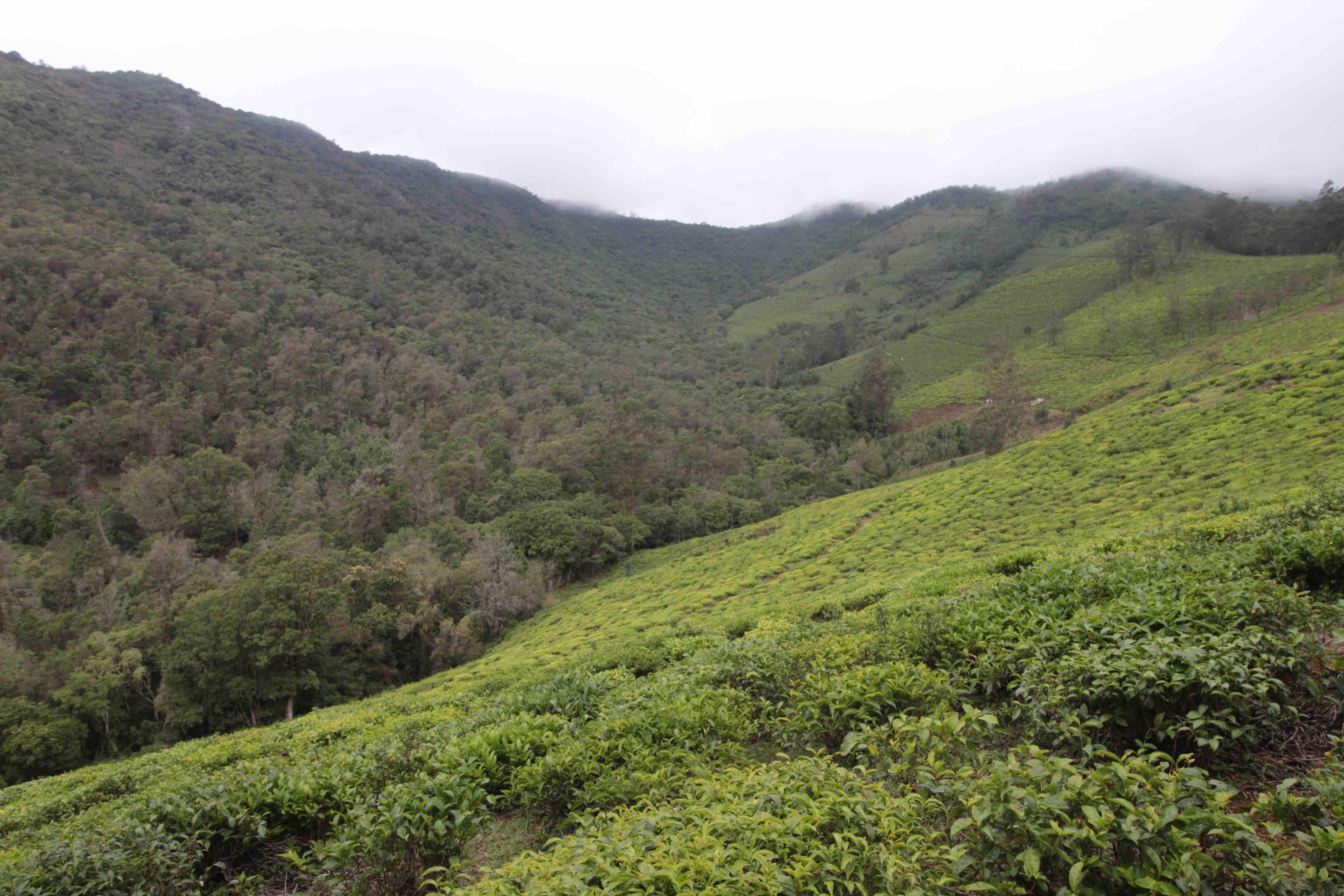 The Nilgiris landscape with tea estates, exotic plants, shola forests and patches of grassland. Credit: Sibi Arasu.