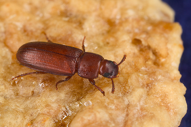 The red flour beetle. Credit: Wikimedia Commons