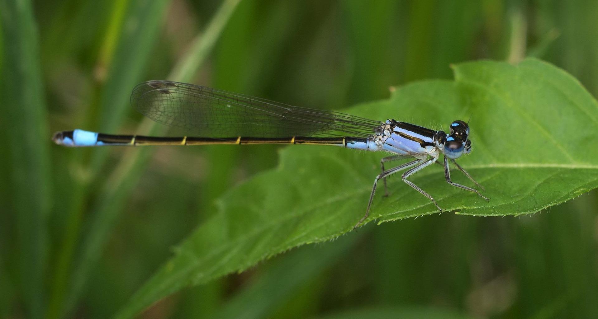A dragonfly. Credit: XandroGr/pixabay