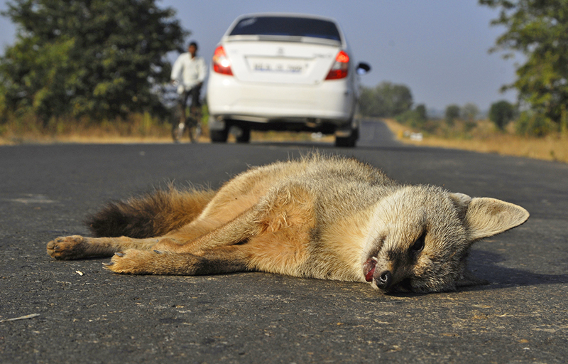 New Citizen Science Initiative to Report Animals Killed by Speeding Vehicles