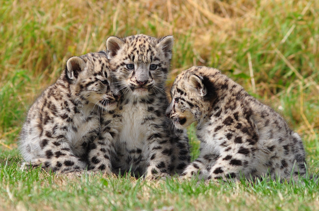 Two month old snow leopard cubs. Credit: dingopup/ Flickr (CC BY-SA 2.0)