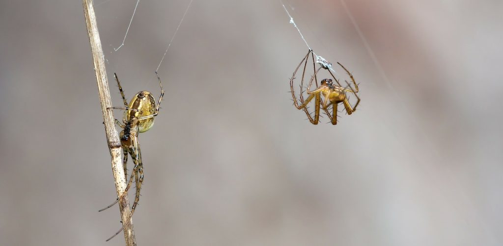 These Spiders Woo Potential Mates by Offering Them Wrapped Packages of Food