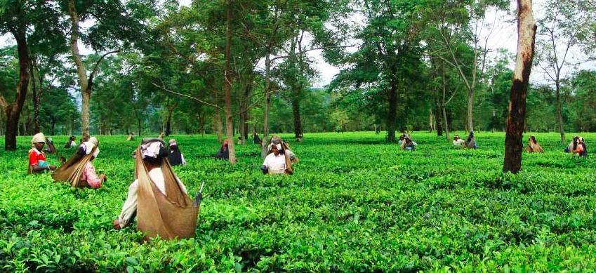 Probe Ordered After 21 Labourers Die in Assam Tea Garden
