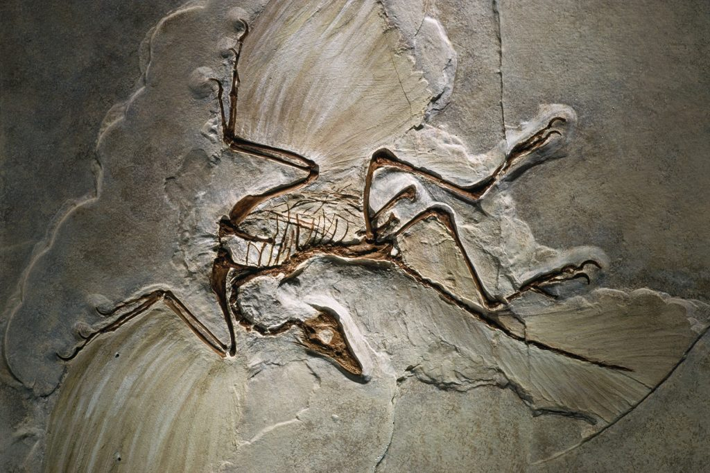 Archaeopteryx May Have Flown in Short Bursts, Like Modern Day Pheasants