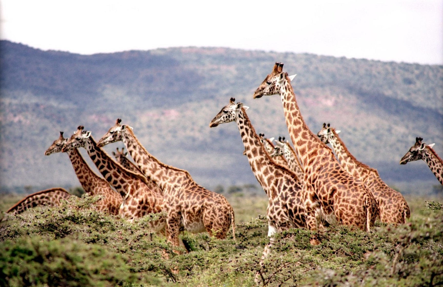 The Quiet Endangerment of The Tallest Mammals
