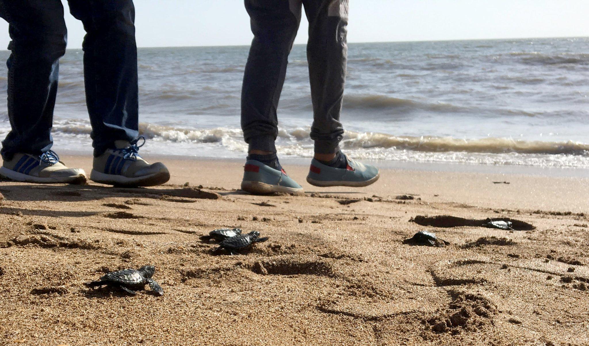 Olive Ridley Turtles Make a Comeback on Mumbai's Versova Beach