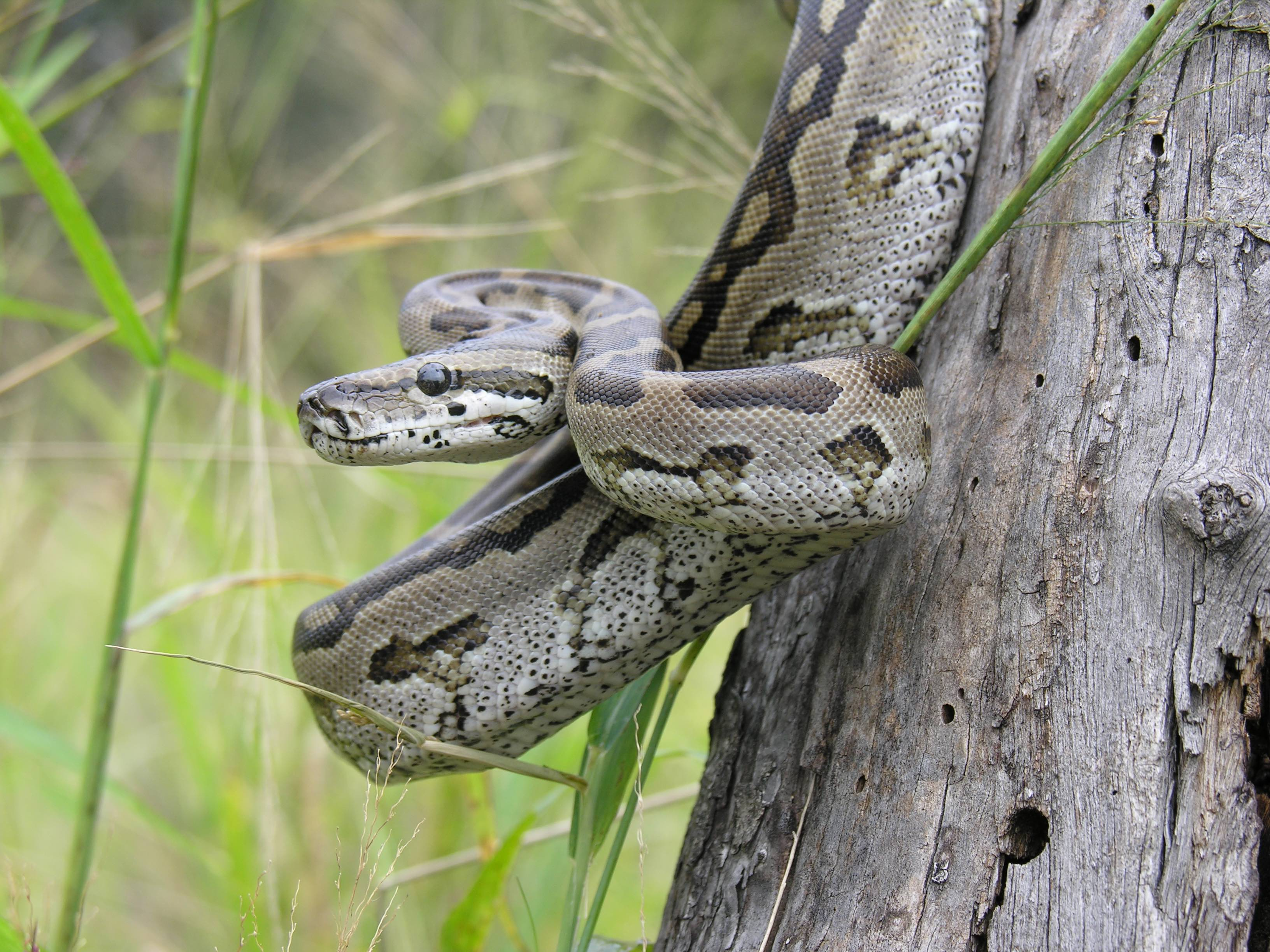 A large southern African python. Source: Author provided