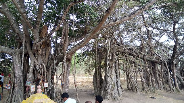 The banyan from which Sangolli Rayanna was hanged in 1831. Credit: Praveenkumar112/Wikimedia Commons, CC BY-SA 4.0