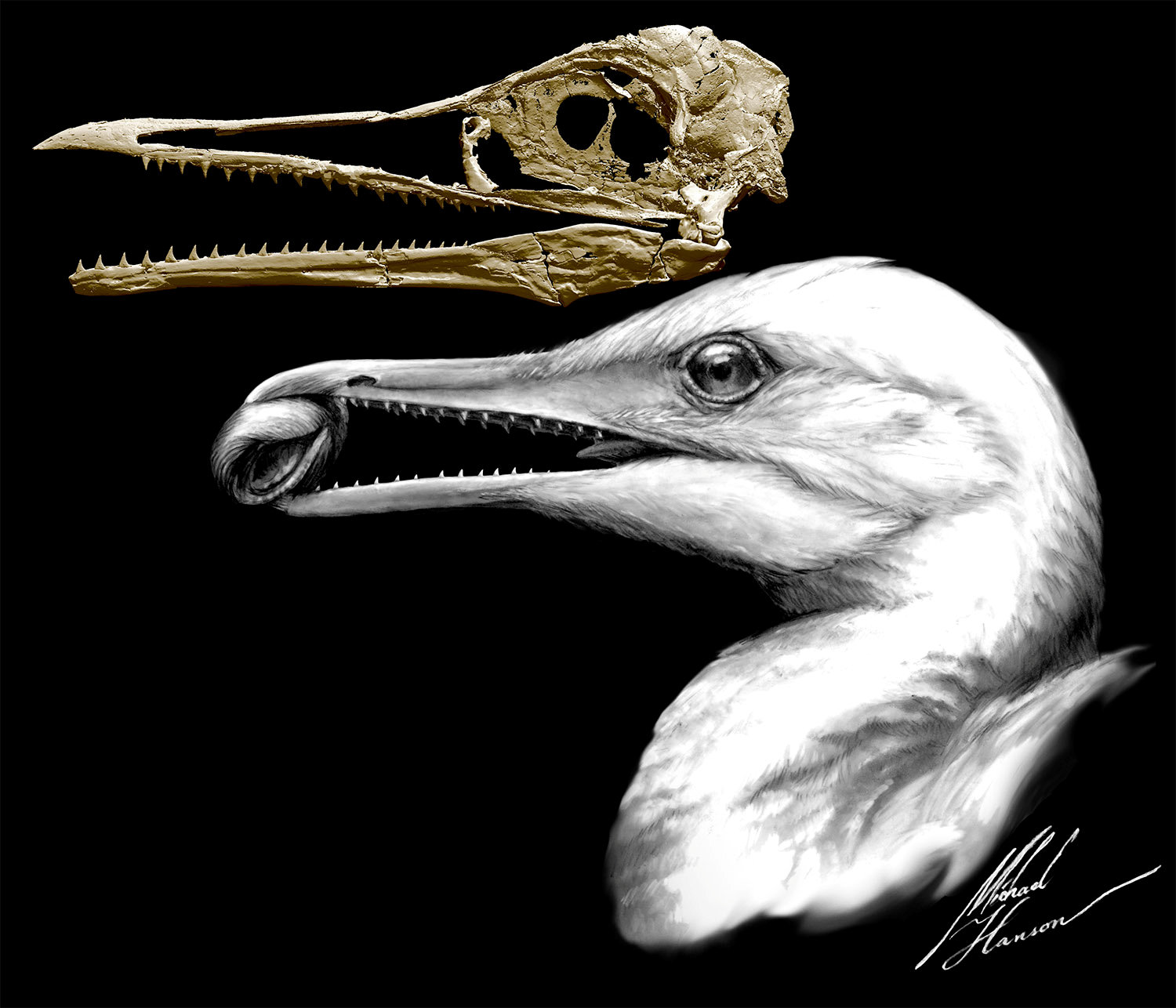 CT-scan-based skull restoration and life reconstruction of the toothed stem bird Ichthyornis dispar, a primitive seabird that prospered about 85 million years ago along the warm, shallow inland sea that once split North America, is shown in this image released on May 2, 2018. Credit: Michael Hanson and Bhart-Anjan S. Bhullar/Handout via Reuters