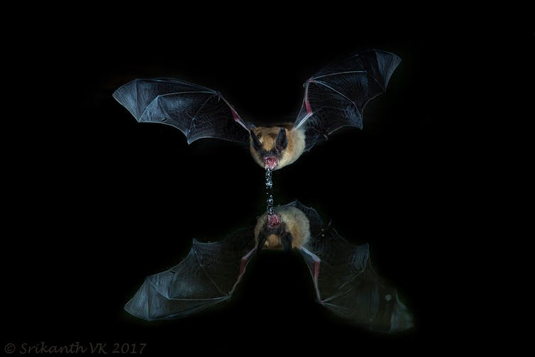 Bats Could Guide Humans to Clean Drinking Water in Places Where It's Scarce