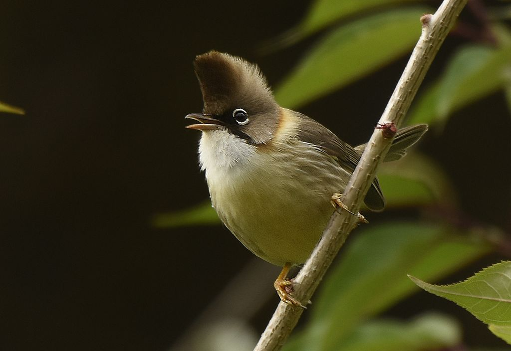 Whiskered yuhina in Nainital, Uttarakhand. Credit: Savithri Singh/Wikimedia Commons, CC BY-SA 4.0