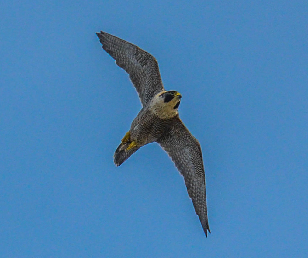 A peregrine falcon turns in the air… Credit: peterichman/Flickr, CC BY 2.0