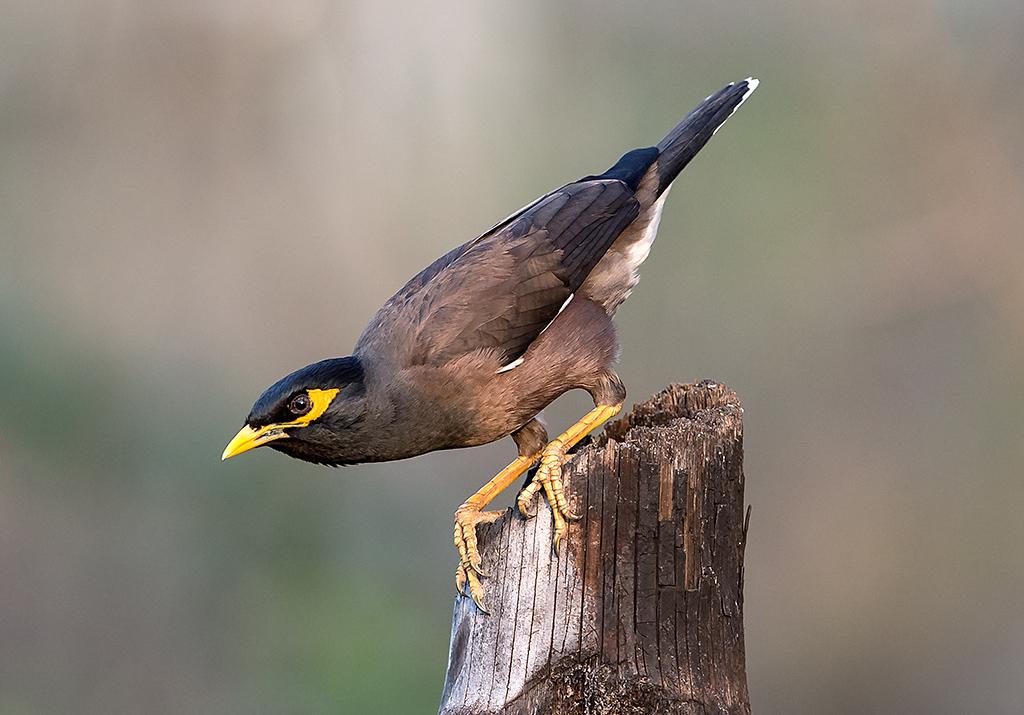 Disease That Decimated UK's Garden Birds Now Found in Mynas in Pakistan