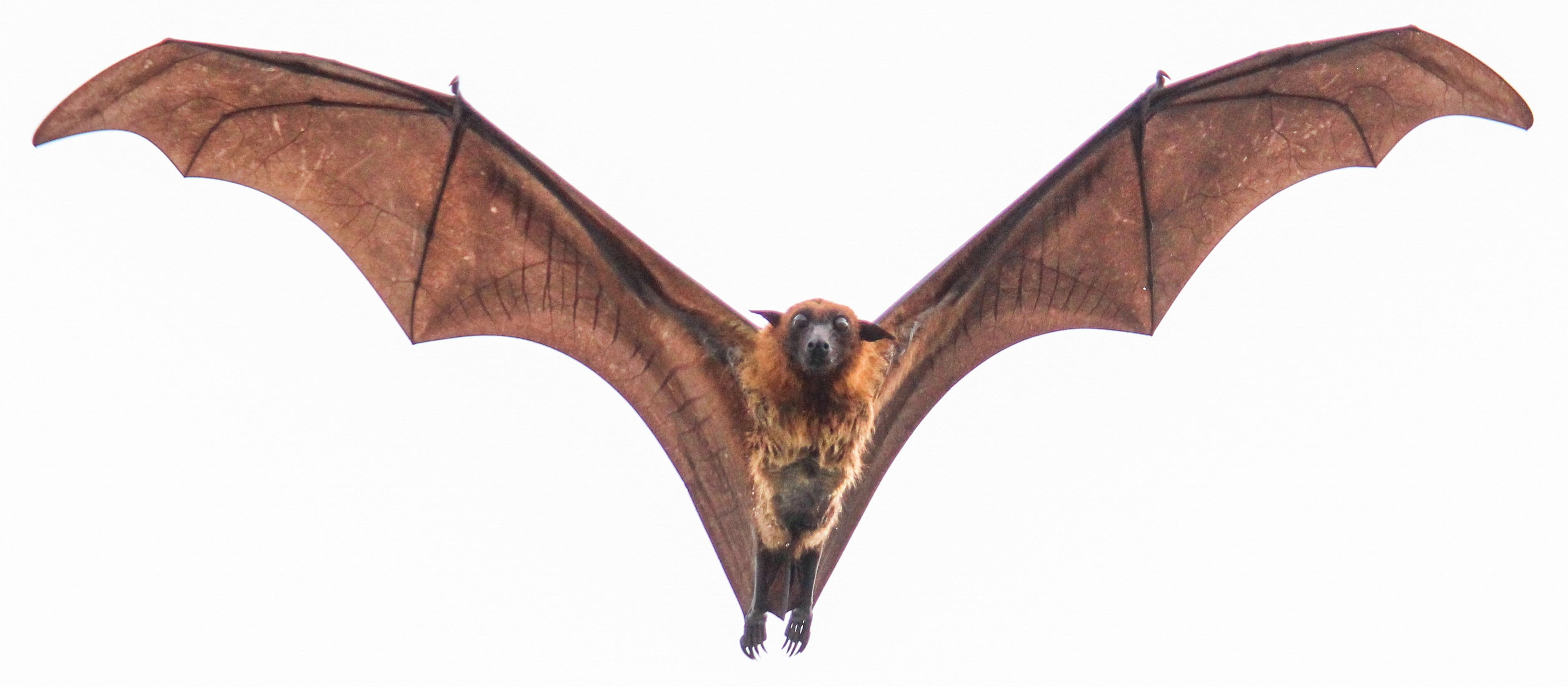 A Greater Indian fruit bat in flight. Credit: Trikansh sharma/Wikimedia Commons, CC0