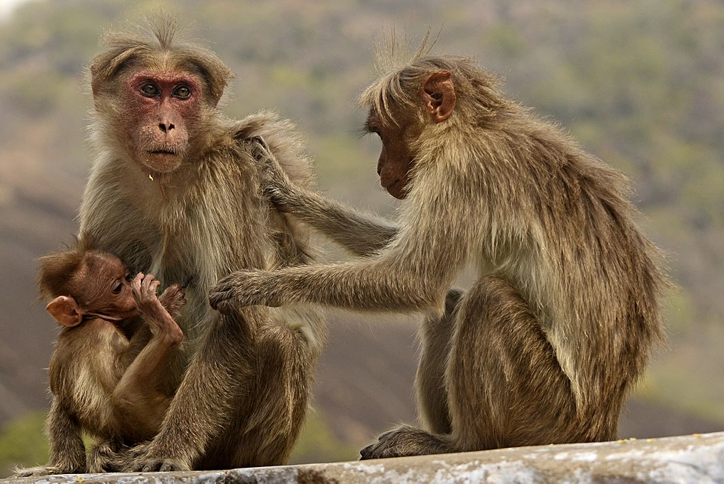 Bonnet macaques. Credit: Wikimedia Commons