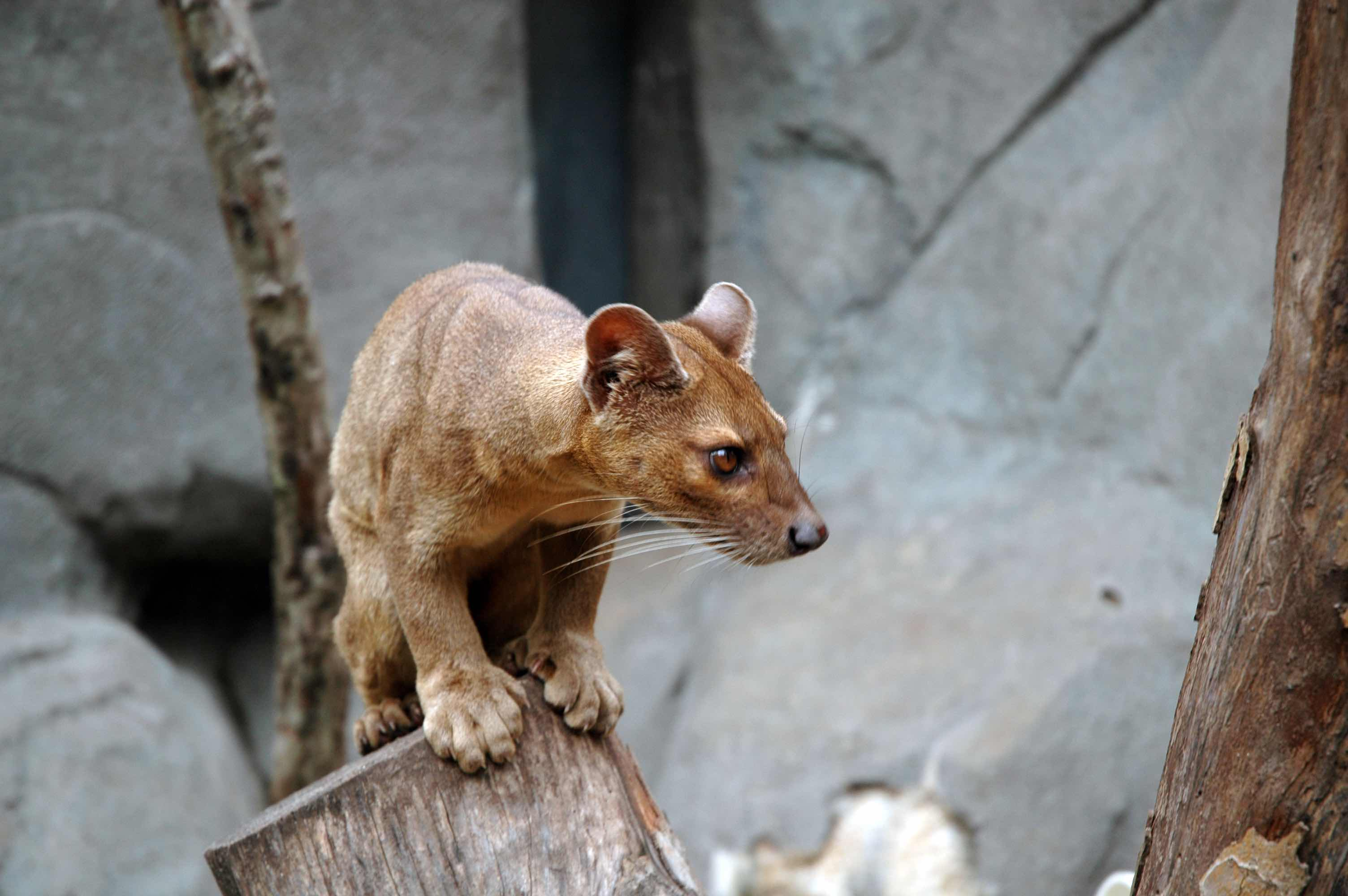 The cat-like fossa will eat anything from lemurs to lizards. Credit: Wikimedia Commons