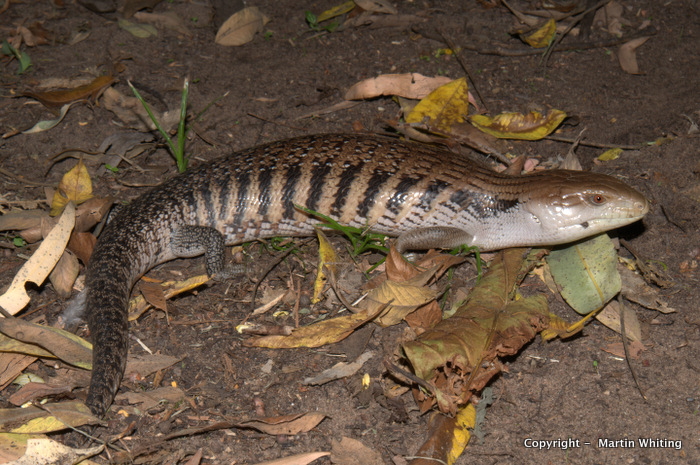 A blue-tongued skink blends with its surroundings. Credit: Martin Whiting