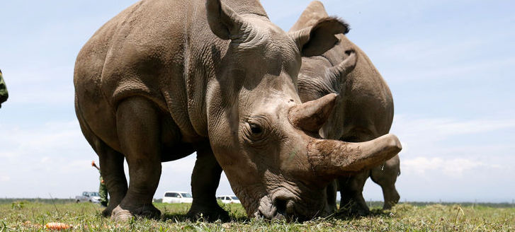 IVF Posited as Last Straw to Save Nearly Extinct Northern White Rhino