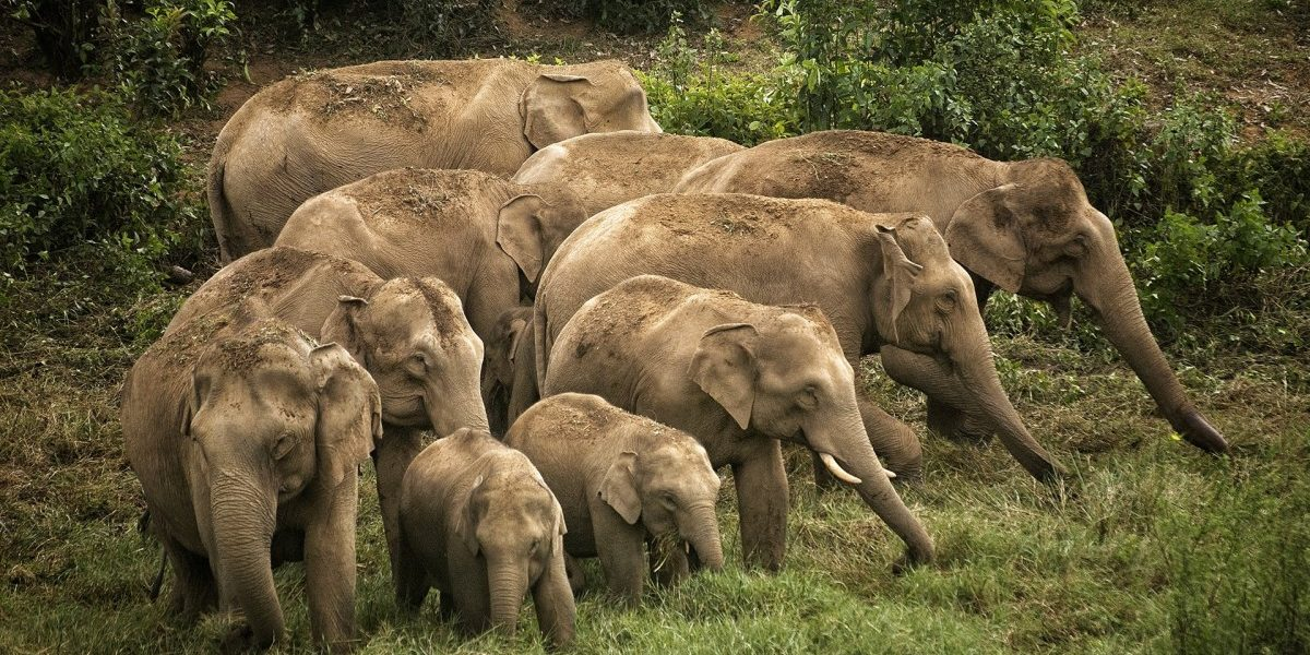 Elephants Living Around Humans Should Be More Stressed, Right? Well…