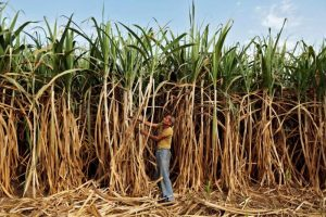 Government Hikes Sugarcane Price by Rs 20/Quintal; New Price Is Rs 275