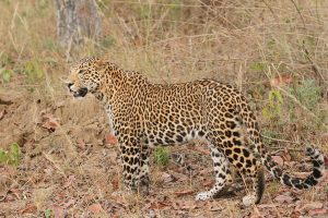 We Are Thinking of the Leopard as a Nuisance – and Quietly Wiping It Out