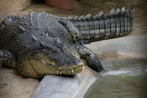 The Problem With Managing Saltwater Crocodiles in the Andamans – in One Argument