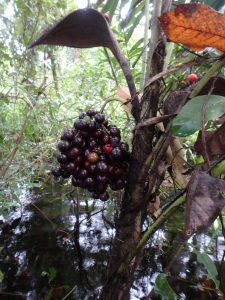 Bactris glaucescens, a palm species, fruits during the flooding season. The fruits fall into the water where they are picked up by frugivorous fish. Credit Sandra Bibiana-Correa