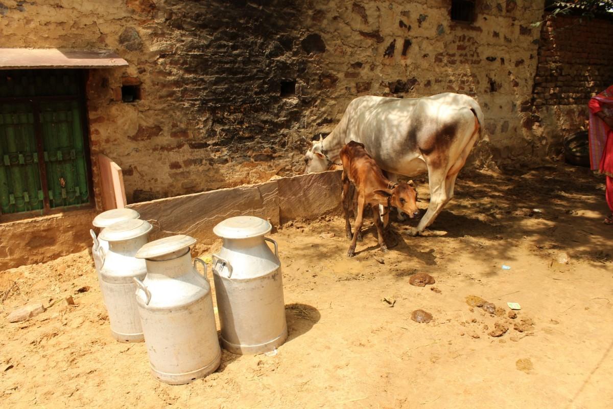 Rakbar Khan's pet cows at his home. Credit: Shruti Jain/The Wire