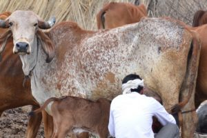 Six Booked for Cow Slaughter After Hindu Outfit Threatens Mass Suicide in UP