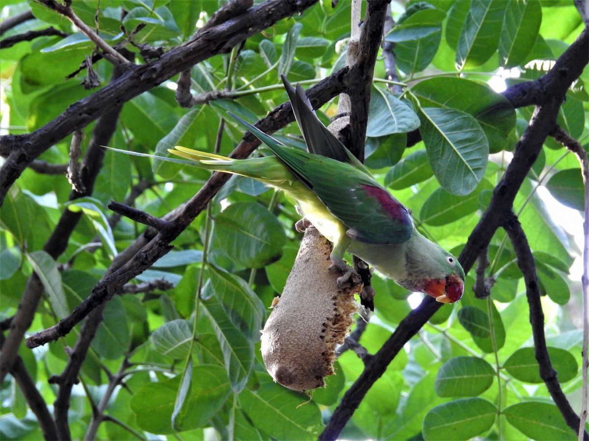 An Alexandrine parakeet feeds on the sausage tree. Credit: Neha Sinha