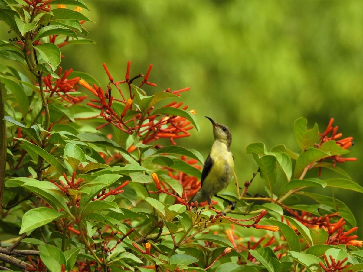 A female sunbird. Credit: Neha Sinha
