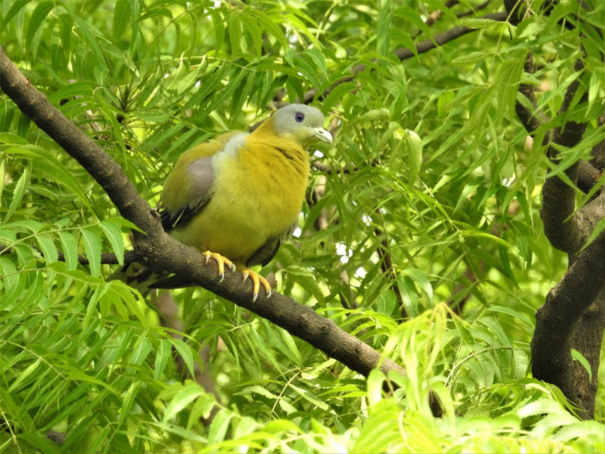 A yellow-footed green pigeon is perched on a neem tree. Credit: Neha Sinha