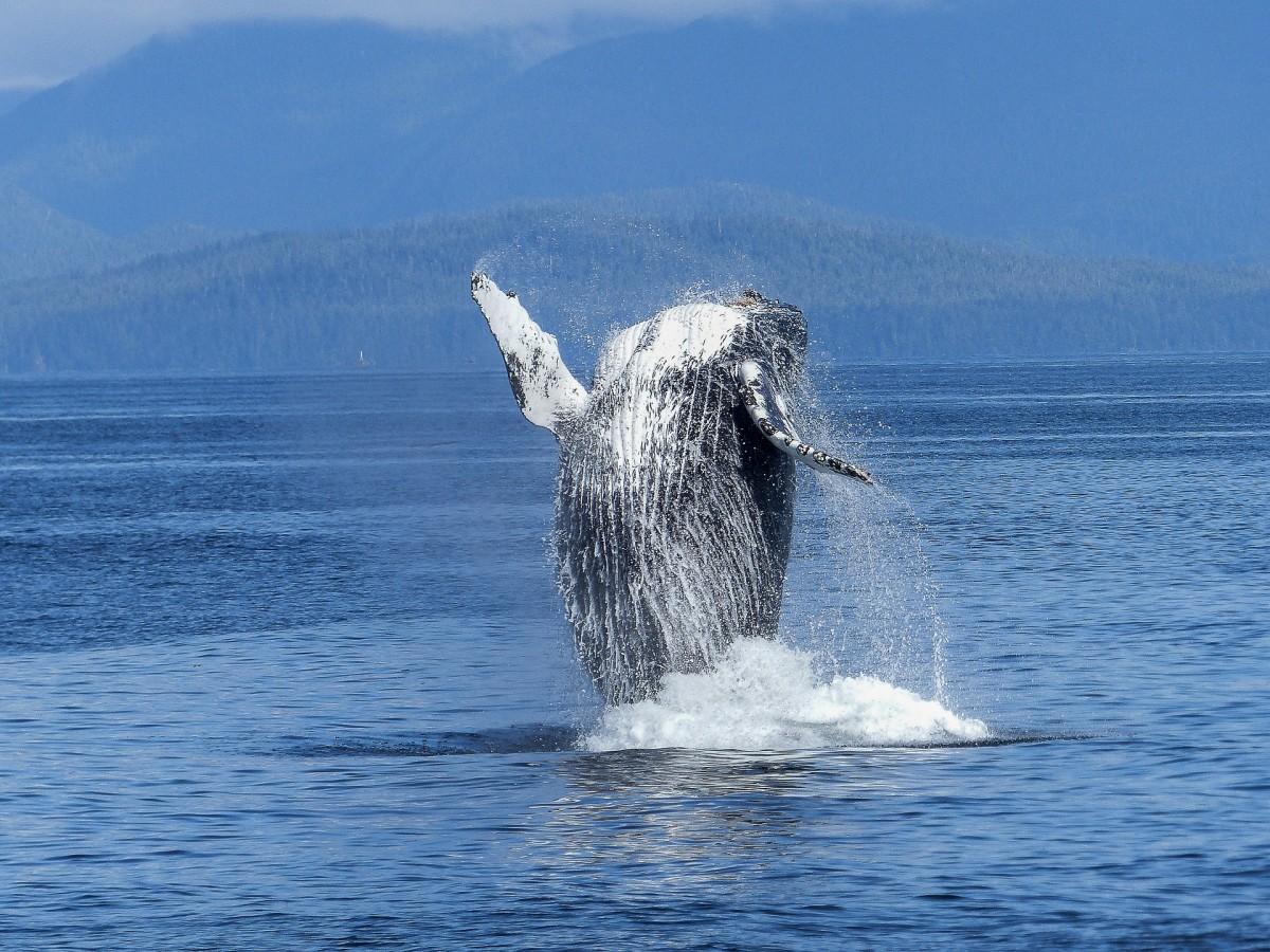 A humpback whale. Credit: werner22brigitte/pixabay