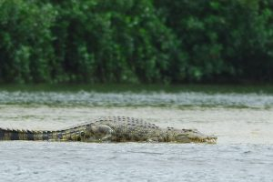 Saltwater Crocodiles in the Andaman and Nicobar Have a PR Problem