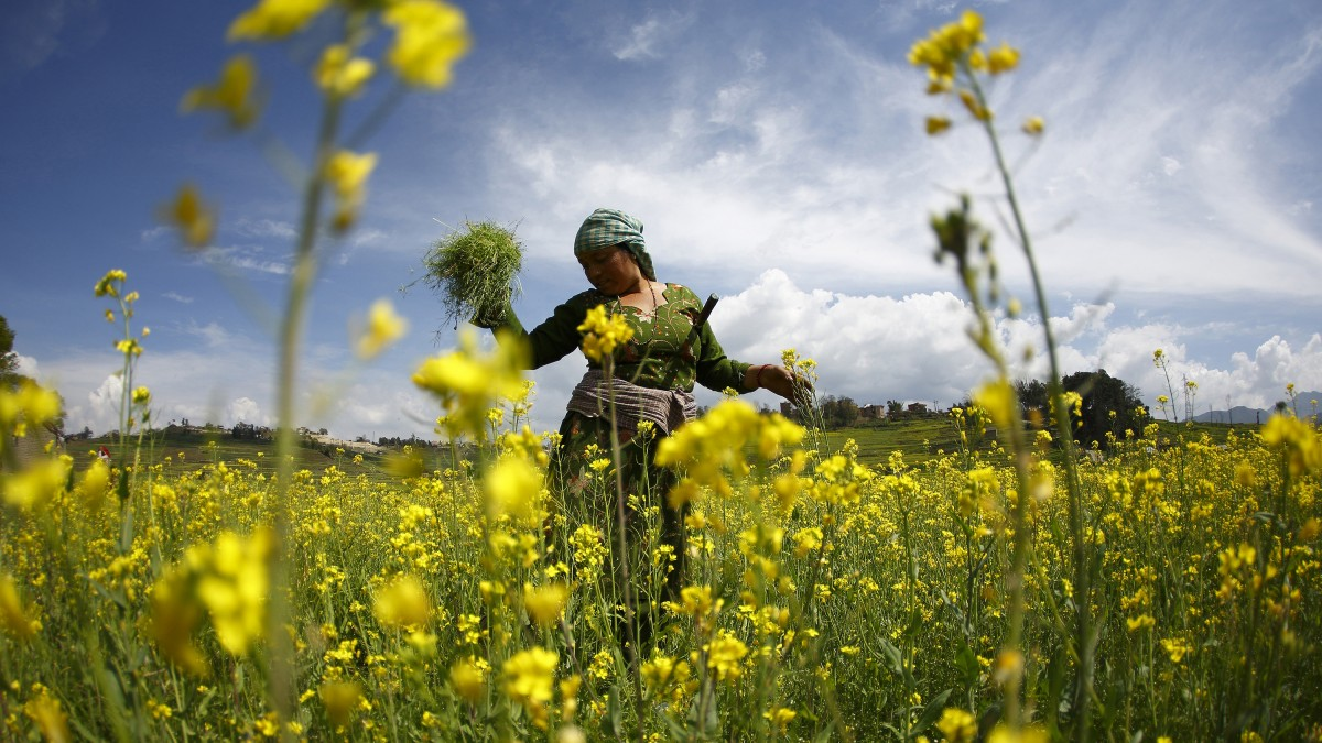 A woman works in a field of mustard. Credit: Reuters