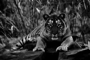 Rehabilitated to the Panna Tiger Reserve in 2005, the Dala Community Faces Eviction