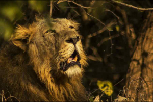Gir Lions Attack Forest Officials Team, Kill One