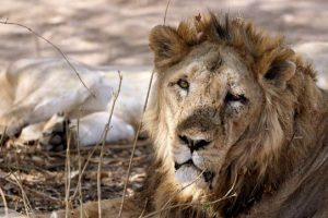 Gir Lions Vaccinated in an Attempt to Prevent Further Deaths
