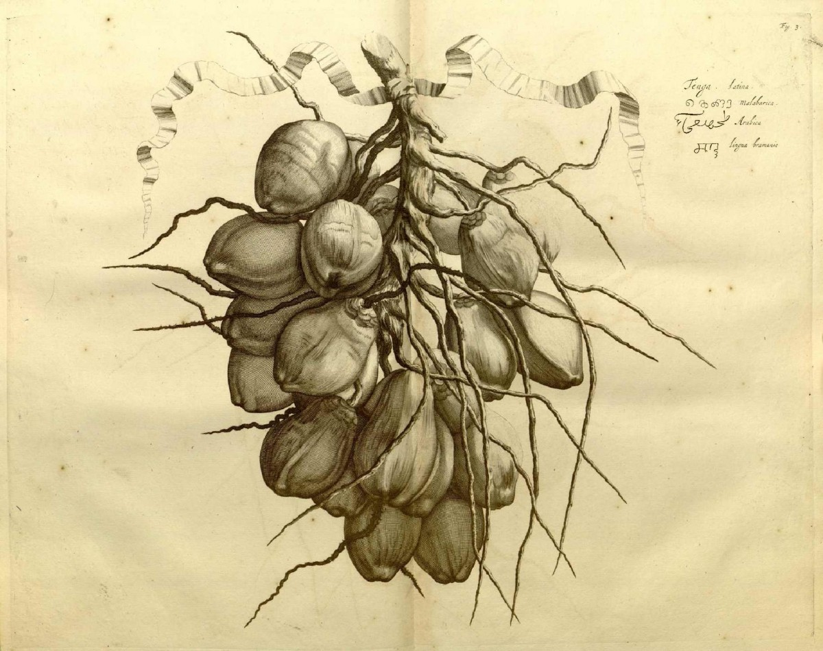 An illustration of the coconut tree from Hortus Malabaricus, with names in Latin, Malayalam, Arabic and Konkani written in the Nagari script. Credit: K.S. Manilal
