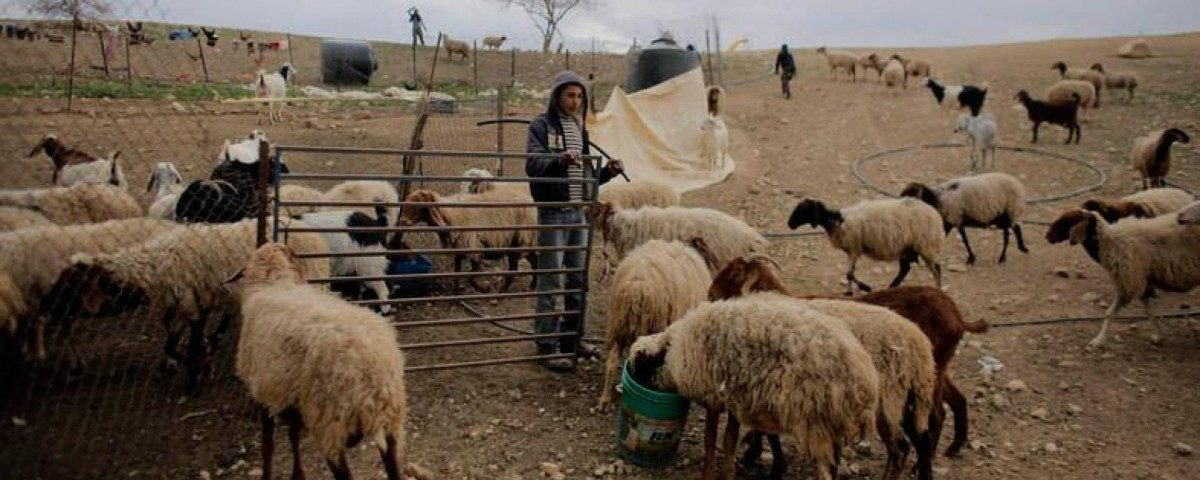 In Al-Hamme, Palestinian Shepherds Are Being Driven Away
