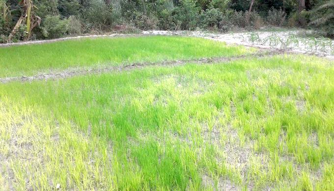 The dry spell in the middle of the monsoon season resulted in sickly paddy nurseries