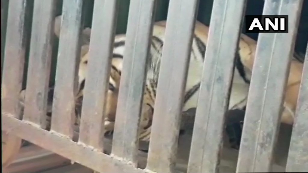 Tigress Avni Shot Dead in Maharashtra
